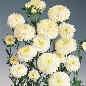 Aster wit
