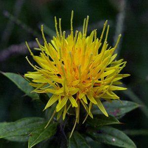 Carthamus Yellow