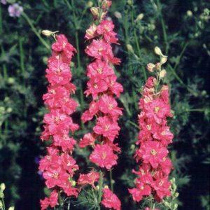 Delphinium rose