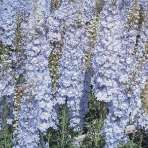 delphinium licht blauw