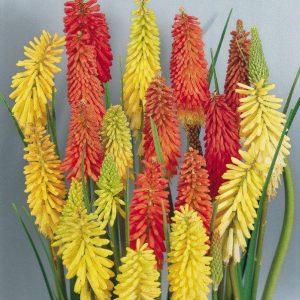 Kniphofia Grandiflora